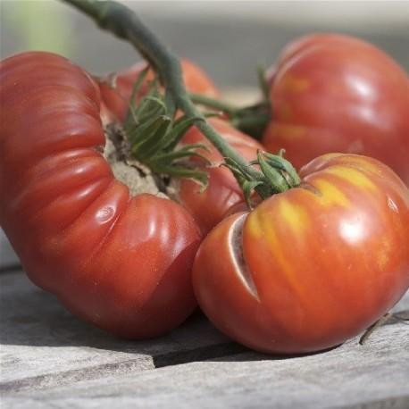 tomate altaiski - semillas ecológicas