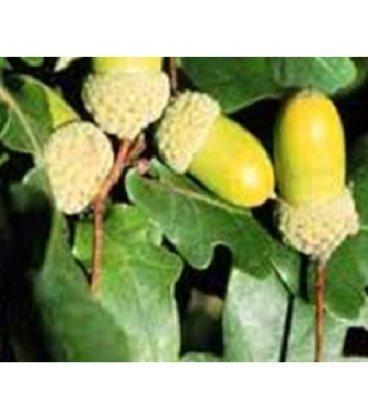 planta de roble albar en formato forestal (Quercus petraea)