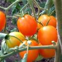 tomate Auriga - semillas ecológicas