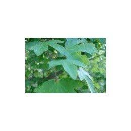 planta de arce en formato forestal