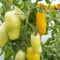 tomate banana legs - semillas ecológicas