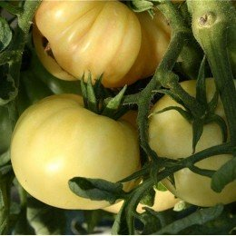 tomate maravilla blanca - semillas ecológicas