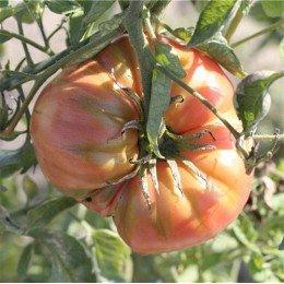 Tomate beefsteak - semillas ecológicas