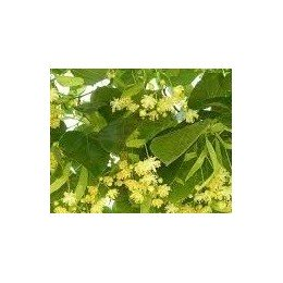 planta de tilo en formato forestal