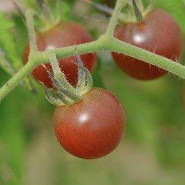 tomate cherry negro - black cherry - semillas ecologicas