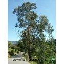 plantel de eucalipto Nitens