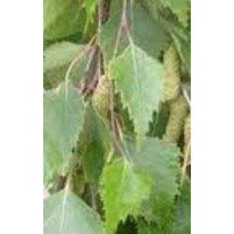 planta de abedul (betula alba) en formato forestal