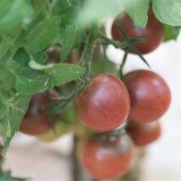 tomate brown berry - semillas ecológicas