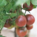 tomate brown berry