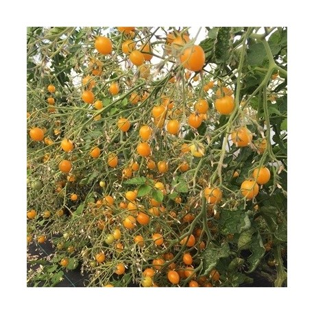 tomate clementina