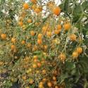 tomate clementina - semillas ecológicas