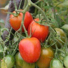 tomate de berao - semillas ecológicas