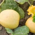 melón jaspee de vendee - semillas ecológicas