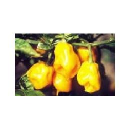 pimiento habanero amariloo Burkina yellow (semillas sin tratar)