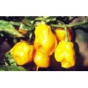 pimiento habanero amarillo Burkina yellow
