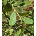 planta de sauce negro (salix atrocinerea) - formato forestal