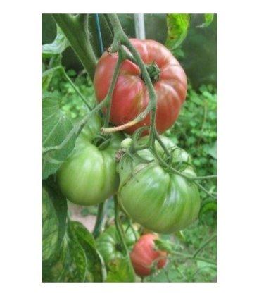 plantel de tomate English rose
