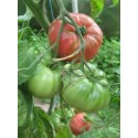 plantel de tomate English rose