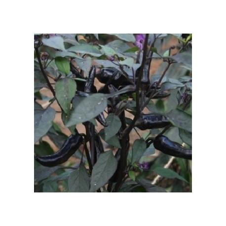 semillas de guindilla vampire