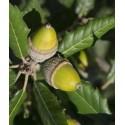 planta de encina cantábrica en formato forestal (quercus ilex ilex)