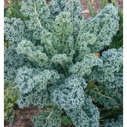kale blue scotch curled - semillas ecológicas