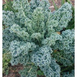 kale blue scotch curled - semillas ecológicas