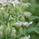 borraja blanca (Borago officinalis ´Alba´) semillas ecologicas