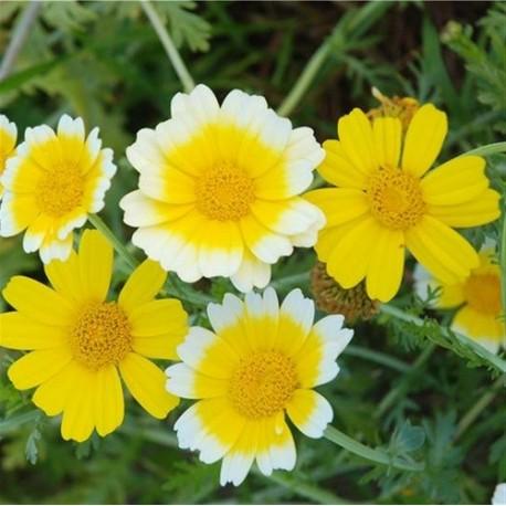 coronaria - crisantemo comestible semillas ecologicas