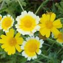 coronaria (Chrysanthemum Coronarium) semillas ecologicas