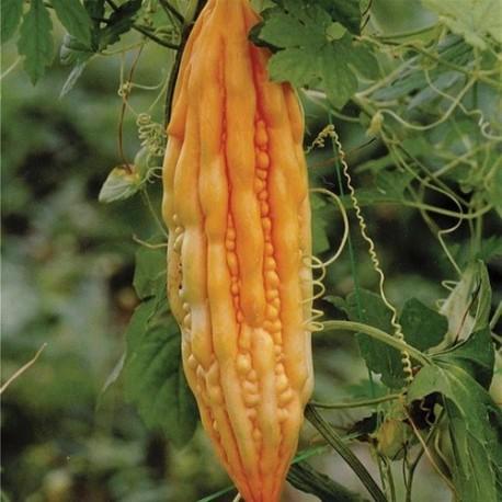 balsamina (Momordica carantia) semillas ecologicas