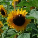 girasol californiano (Helianthus annuus californicus) semillas ecologicas