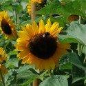 girasol Titan - semillas no tratadas