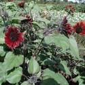 girasol rojo (Helianthus annuus) semillas ecologicas