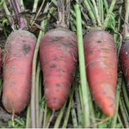 zanahoria larga rojo sangre - semillas ecologicas