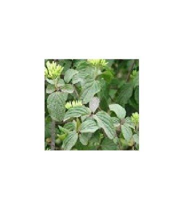 planta de cornejo en formato forestal