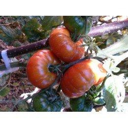 plantel de tomate de Pesues