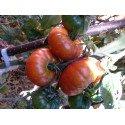 plantel ecológico de tomate de Pesues