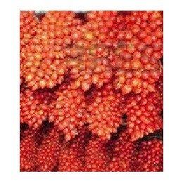 plantel de tomate de colgar piennolo napolitano