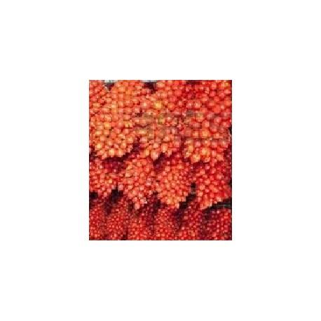 plantel de tomate de colgar