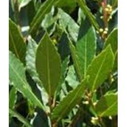 planta de laurel en formato forestal (laurus nobilis)