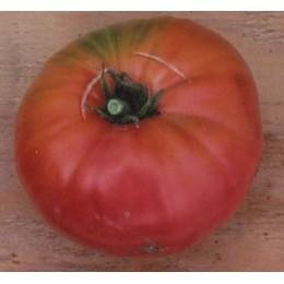 plantel de tomate 1884
