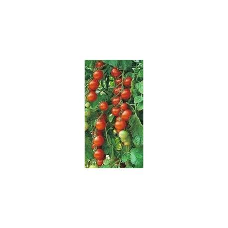 plantel de tomate gardeners delight