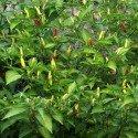 pimiento picante tabasco (semillas no tratadas)