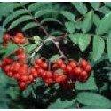 planta de serbal de los cazadores en formato forestal