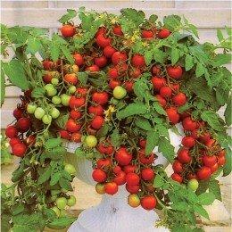 tomate Maskotka - semillas no tratadas