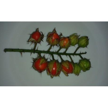 plantel de tomate litchi - morella de Balbis