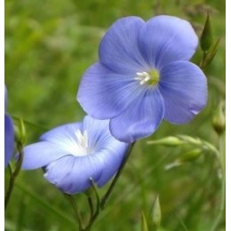 lino - semillas ecológicas