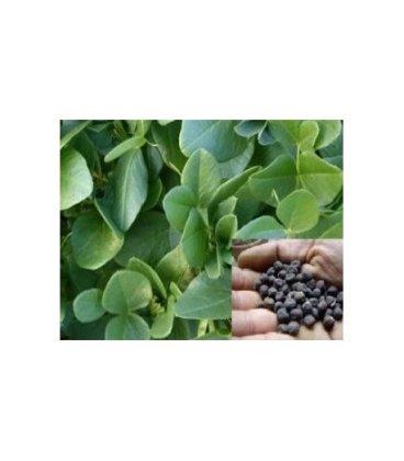 alberjones (Vicia narbonensis) semillas ecológicas