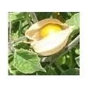 plantel de physalis peruviana