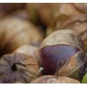 physalis ixocarpa purpura - semillas sin tratamiento